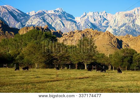 Cows Grazing On A Lush Pasture With The Rugged Sierra Nevada Mountains Beyond Including Mt Whitney T