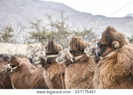 Group Of Camels In Nubra Valley On The Hunder Sand Dunes, Ladakh Region State Of Jammu And Kashmir