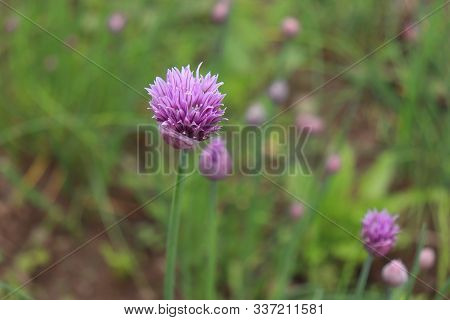 Fresh Purple Chives Flower Or Wild Chives, Flowering Onion, Garlic Chives, Chinese Chives, Schnittla