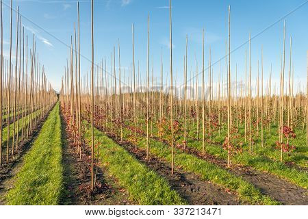 Endless Long Converging Rows Of Young Trees Supported With Sticks In A Dutch Tree Nursery. Strips Of