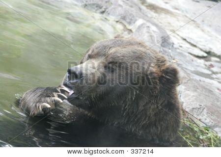 Bear Licking His Feet