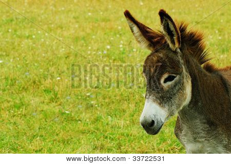 Donkey Closeup With Copy Space