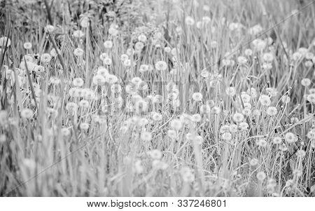 Field With Dandelion. Meadow Of White Dandelions. Summer Field. Dandelion Field. Spring Background W