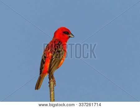 Beautiful Madagascar Bird Red Fody, Foudia Madagascariensis On The Branch With Blue Sky Background.