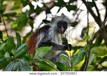 Red Colobus Baby Monkey In A Natural Environment, Zanzibar Jozani Forest. Jozani-chwaka Bay Conserva