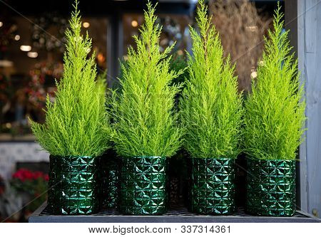 Row Of Four Evergreen Plants - Cypress Or Lemon Cypress Trees In Pots On The Shelve At Greek Garden