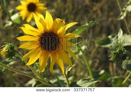 A Beautiful Sunflower Blooming In Merced County, California.