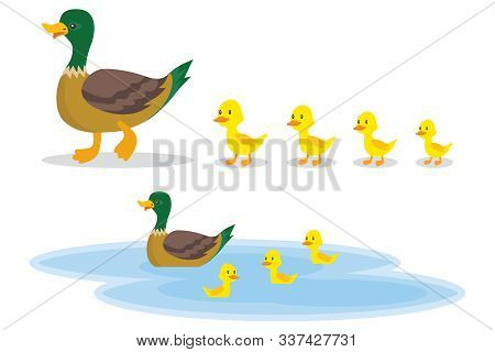 A Wild Duck With Little Ducks Walks To The Pond. A Duck With Small Ducklings Swims On The Water. Car