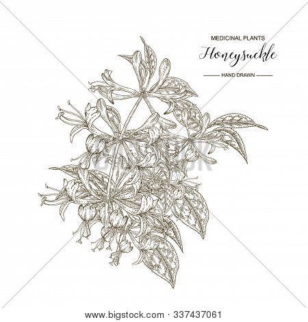 Honeysuckle Branch. Hand Drawn Flowers And Leaves Of Lonicera Japonica. Medical Plants Collection. V