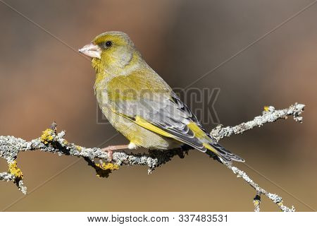 Bird - Greenfinch (chloris Chloris) Is A Small Songbird Of The Family Fringillidae And Order Of The