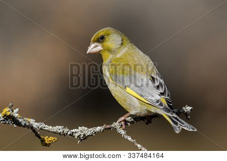 The European Greenfinch (chloris Chloris) Or Common Greenfinch Is A Songbird Of The Order Of The Pas