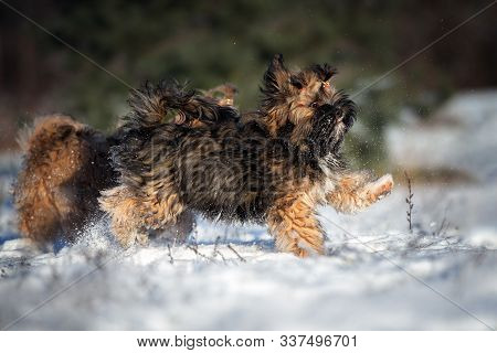 Fluffy Lhasa Apso Puppy Licks Nose Outdoors In Winter