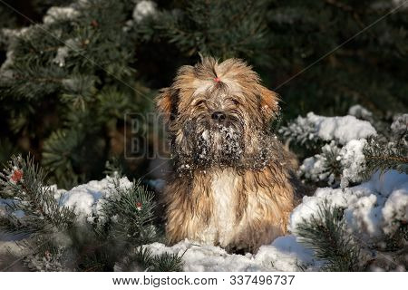 Fluffy Lhasa Apso Puppy Standing By The Pine Tree In The Snow