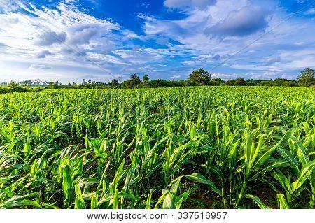 Corn Field On A Beautiful Sunny Day