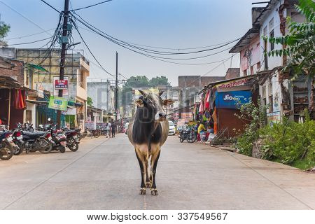 Orchha, India - November 04, 2019: Indian Cow Standing In The Middle Of The Road In Orchha, India
