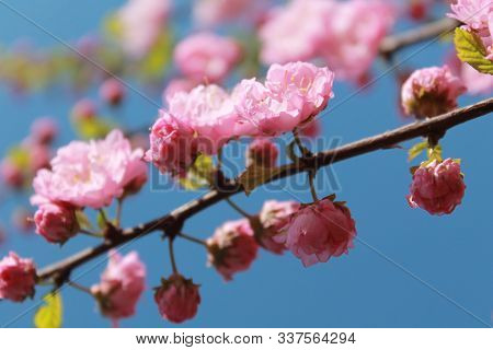 Pink Flowers Of Sacura On A Dark Sprig On A Background Blue Sky