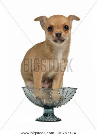 Chihuahua puppy in a blue glass vase, isolated
