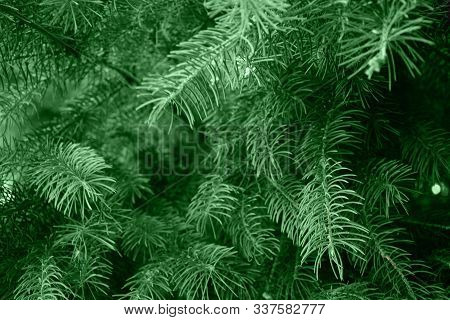 Fir Branches Blue Spruce. Close Up. Branches Of Blue Spruce. Winter Nature. Spruce Needles. Fluffy C