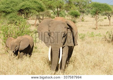 Closeup of African Elephant (scientific name: Loxodonta africana, or