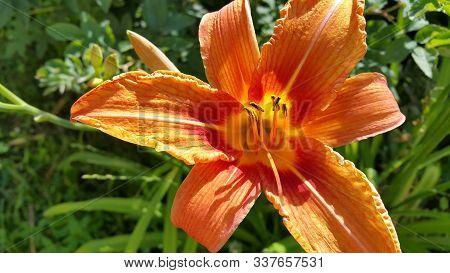 Beautiful Bright Orange Day-lily (hemerocallis Fulva) On A Sunny Summer Garden, Closeup