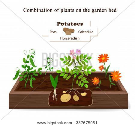 Growing Vegetables And Plants On One Bed. Potatoes, Horseradish, Peas, Marigolds. Vector