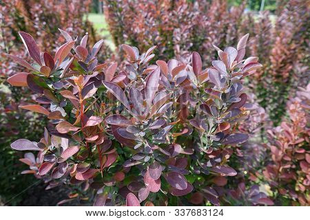Branches Of Thunberg's Barberry With Red Foliage In May
