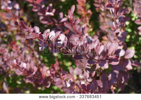 Close View Of Purple Foliage Of Thunberg's Barberry In August