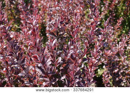 Dark Red Foliage Of Thunberg's Barberry In August