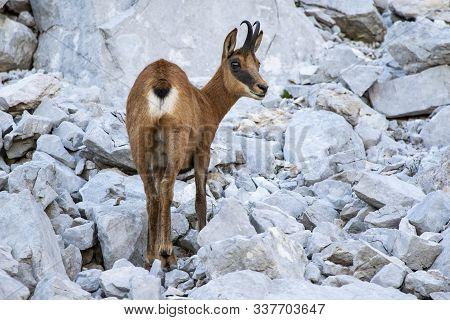 Rebeco, Rupicapra Rupicapra, On The Rocky Hill Of Picos De Europa, Spain. Wildlife Scene In Nature.