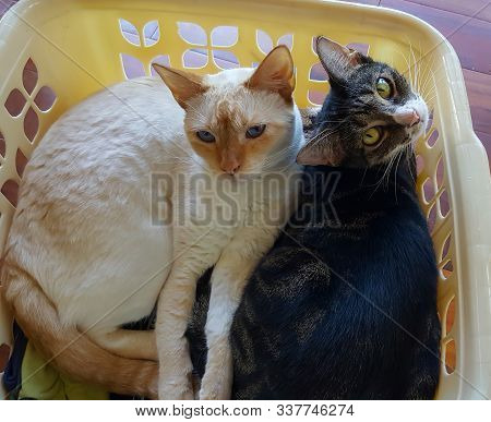 Two Adorable Cats Lounge Side By Side In A Laundry Basket And Look At The Camera.