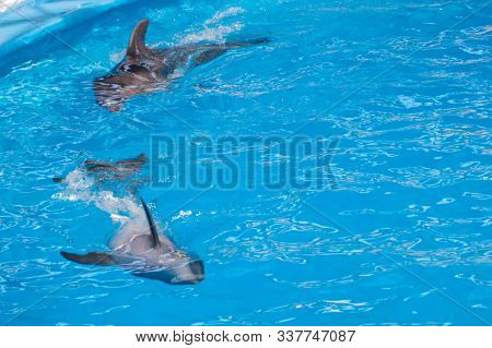 Cute Gray Dolphins Swim In Blue Water. Copy Space, Place For Your Text. Bottlenose Dolphins, Wild Ma