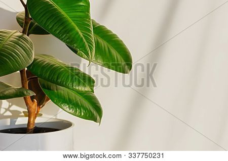 Ficus Elastic Plant Rubber Tree On A Light Background. Shadow Of Ficus On The Wall. Close Up.