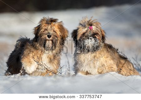 Funny Lhasa Apso Puppy Standing On Hind Legs In The Snow In Winter