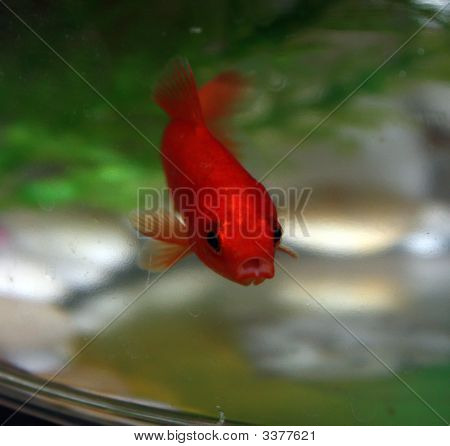 Red Goldfish In Bowl Stairing Back At You