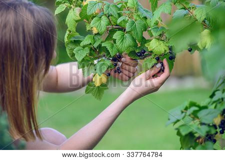 Female Hands Gathering Black Currant Gathering On Summer Day.