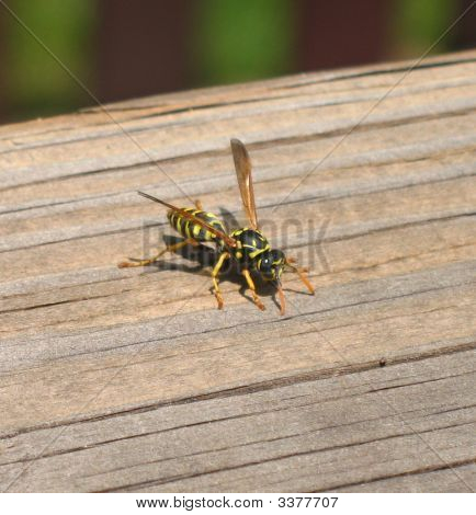 Paper Wasp (Yellowjack) Getting Material To Make It'S Nest