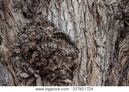 Deeply Cracked Bark Of An Old Poplar Of Gray Shades. The Surface Of The Poplar Bark With Growths And