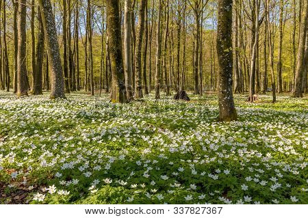 Beautiful Wood Anemone, Spring Flowers In The Beech Forest - Wood Anemone, Windflower, Thimbleweed,