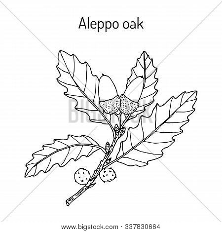 Aleppo Oak Quercus Infectoria , Medicinal Plant. Hand Drawn Botanical Vector Illustration