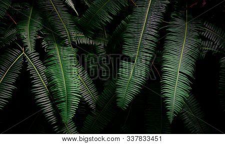 Fern Leaves On Dark Background In Jungle. Dense Dark Green Fern Leaves In Garden At Night. Nature Ab
