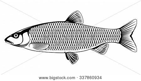 Realistic European Chub Fish In Black And White Isolated Illustration, One Freshwater Fish On Side V