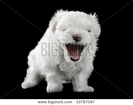 maltese puppy isolated on the black background poster