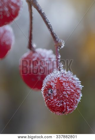 European Mountain Ash (sorbus Aucuparia) Berries At Autumn After Frost. Berries In The Frost With Ic