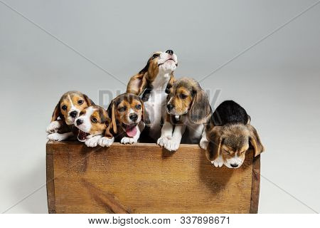 Beagle Tricolor Puppies Are Posing In Wooden Box. Cute Doggies Or Pets Playing On White Background.