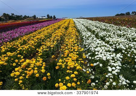 Rows Of Colorful Flowers Grow In Carlsbad,california,united States Of America.