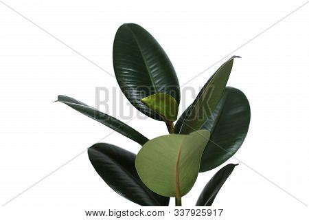 Close Up Of Green Ficus Plant, Minimalistic Style. Ficus Elastica Plant, Rubber Tree, On A White Iso