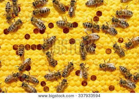 Bees Work On A Wax Cell With Larvae. Honeycomb With Small Larvae Of Bees. Apis Mellifera Worker Are