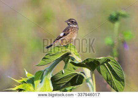 European Stonechat (saxicola Torquatus)