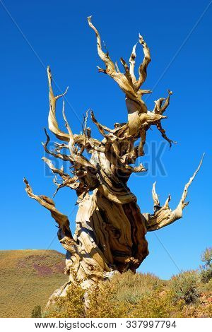 Dead Bristlecone Pine Tree With Its Twisted Bark And Branches On A Windswept Barren Landscape Taken
