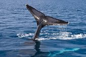 Humpback Whale Tail, Hervey Bay, Queensland, Australia poster